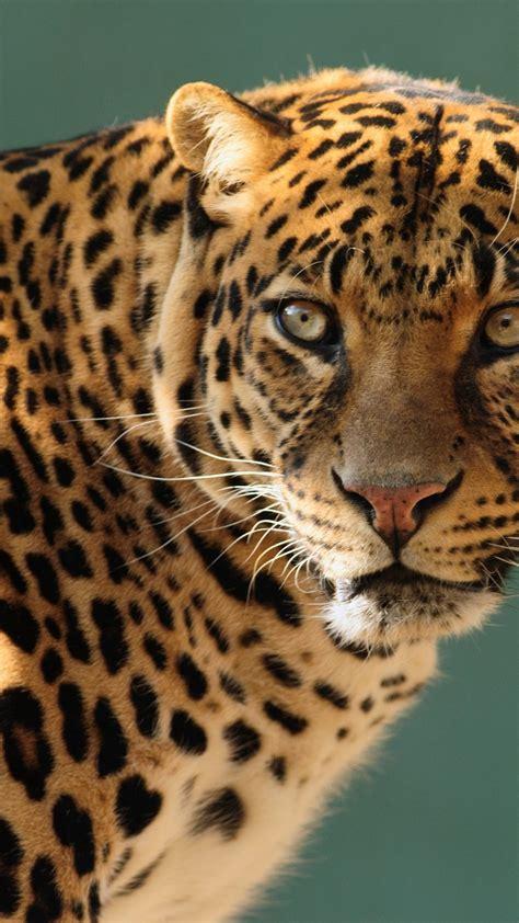 wallpaper jaguar wild cat face animals 10237