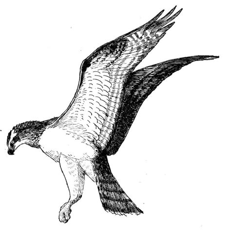free osprey coloring pages