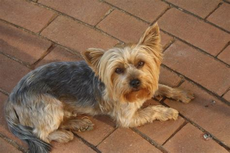 yorkie colorado yorkie rescue terrier dogs for adoption in south africa