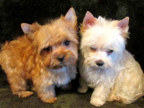 yorkie color change chart yorkie breeders in va breeds picture