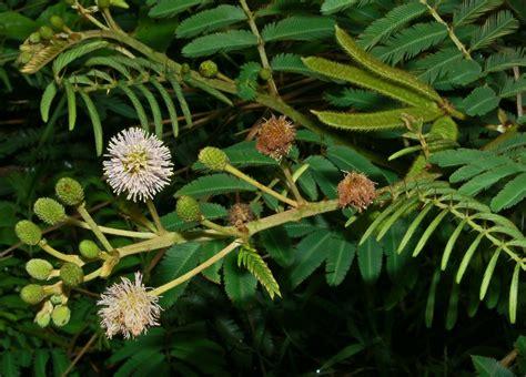 Mimosa Black mimosa in australia