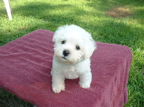 schnoodle puppies nc puppies for sale schnoodle all sizes miniature schnoodles f category