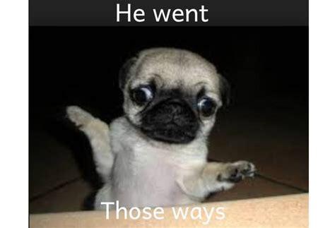 confused pug pug on