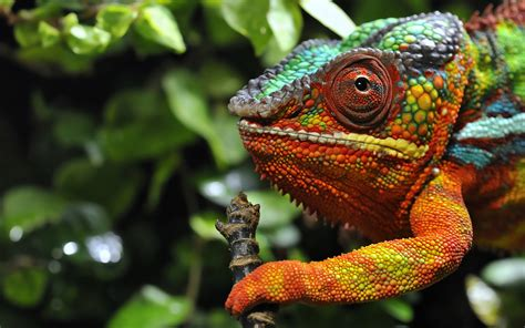 multicolored chameleon 2560 x 1600 animals