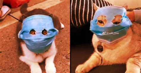 chinese cats  wearing face masks  protect  virus