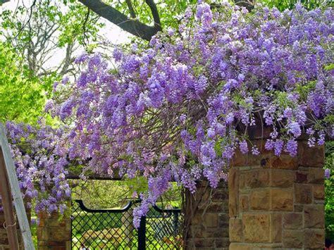 fiori viola a grappolo fiori a grappoli violacei stratfordseattle