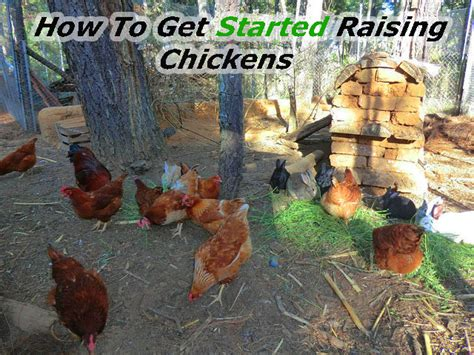 how to get started raising chickens types of chicken