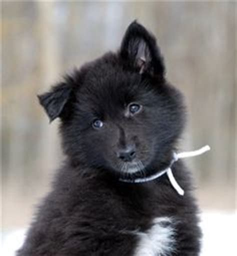 groenendael puppies groenendael black belgian shepherd the belgian sheepdog comes from belgium and