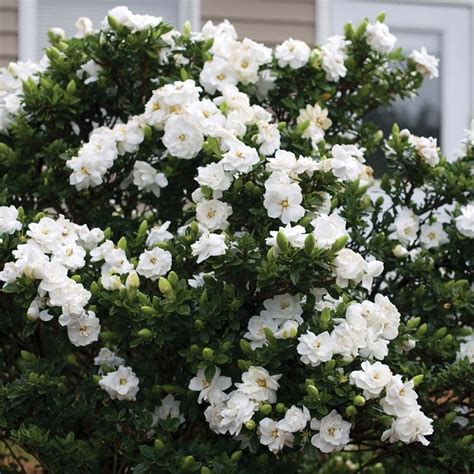 Gardenia Shrub Gardenia Crown Jewels Scented Evergreen Shrub In 9cm Pot