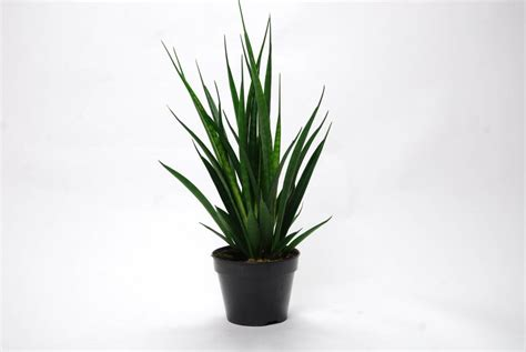 Best Patio Plants by Sansevieria Kirkii Friends Florastore
