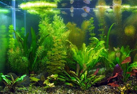 10000k light for planted tank grow plants in aquarium what is aquaponics and how is it