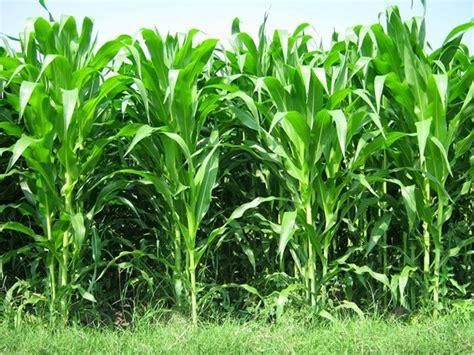 Furadan Pada Jagung hama dan penyakit budidaya jagung budidayaku