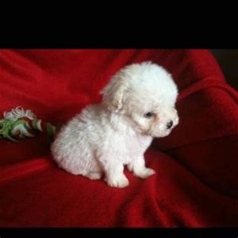 white poodle puppy white poodles puppies www pixshark images galleries with a bite