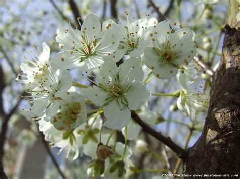 great white flowering cherry trees for sale online at trees direct