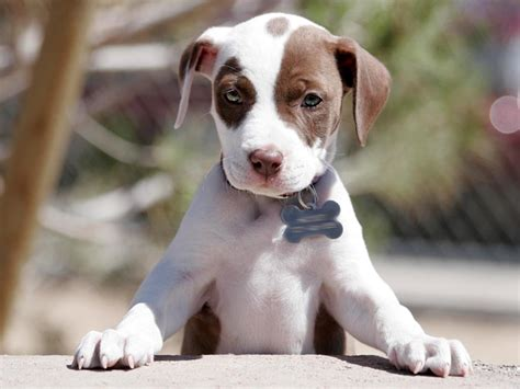 The Gallery For Gt Cute Pitbull Puppies Tumblr Pit Gallery