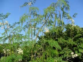 Arizona Backyards 10 Health Benefits Of Drumstick Plant