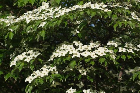 flowering dogwood shrub garden center shrubs perennials shade trees dobias