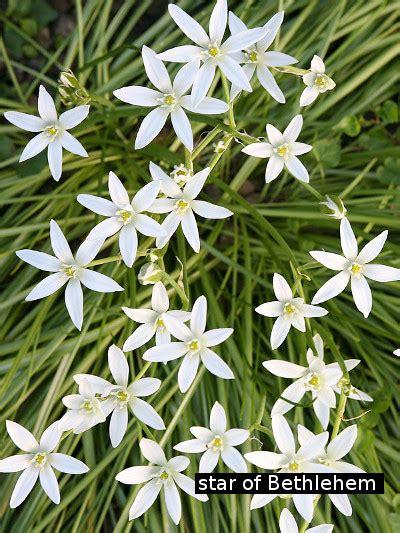 stella di betlemme fiori di bach of bethlehem i fiori di bach attivazioni biologiche