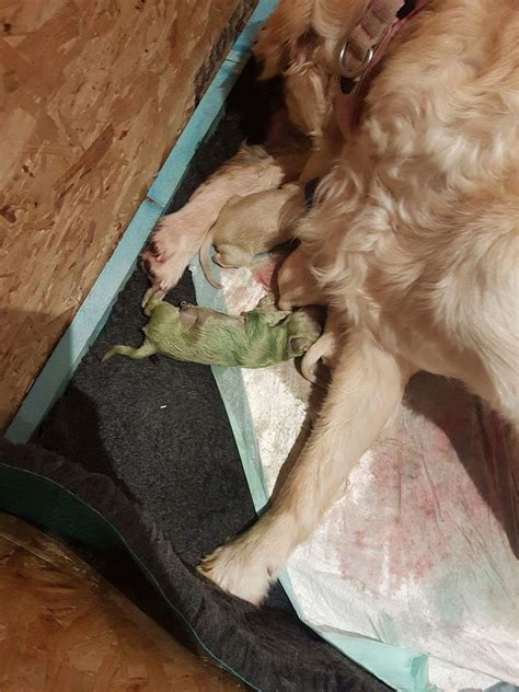 golden retriever giving birth to puppies golden retriever gives birth to green puppy and it has aptly named forest ladbible