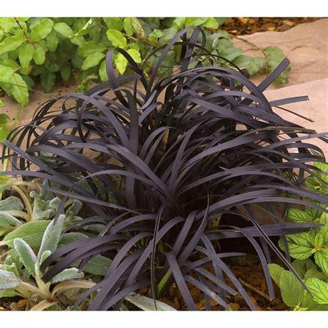 Plantes Et Jardins by Ophiopogon Plantes Et Jardins
