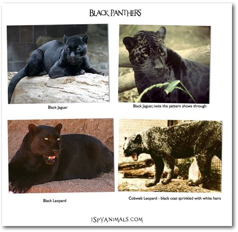 What Is The Difference Between Jaguar And Panther I Animals 201103