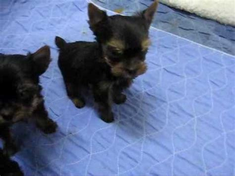 7 week yorkie puppies 6 week yorkie puppies