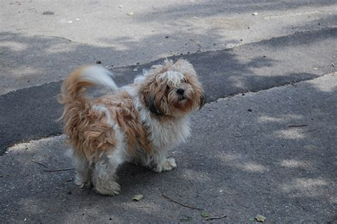 thicken shih tzu tails shih tzu the lhasa lion dog dog breed answers