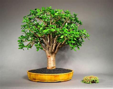 pozsgafa vagy majomfa crassula ovata jade plant home