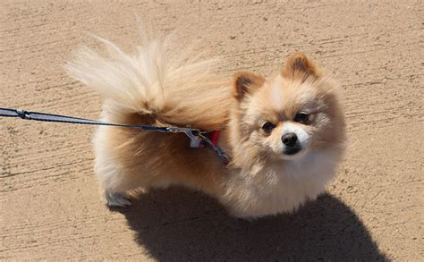 pomeranian dogs names 140 and fabulous pomeranian names my s name