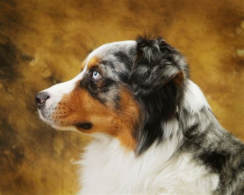 australian shepherd puppies for sale near me quot australian shepherd puppies for sale near me service