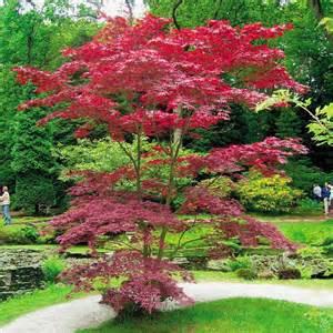 japanese acer palmatum atropurpurea 1 tree buy online