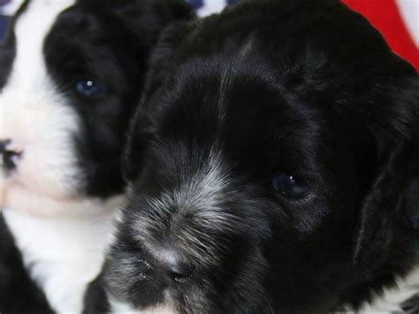 havanese water domarco portuguese water dogs and havanese puppies for sale