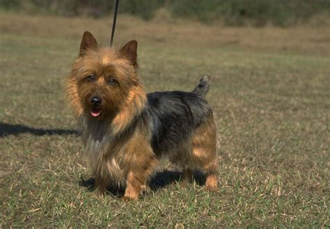australian puppies for sale australian terrier puppies for sale akc puppyfinder