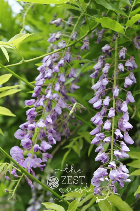 getting wisteria to bloomm what s blooming in late may in northern ohio the zest quest