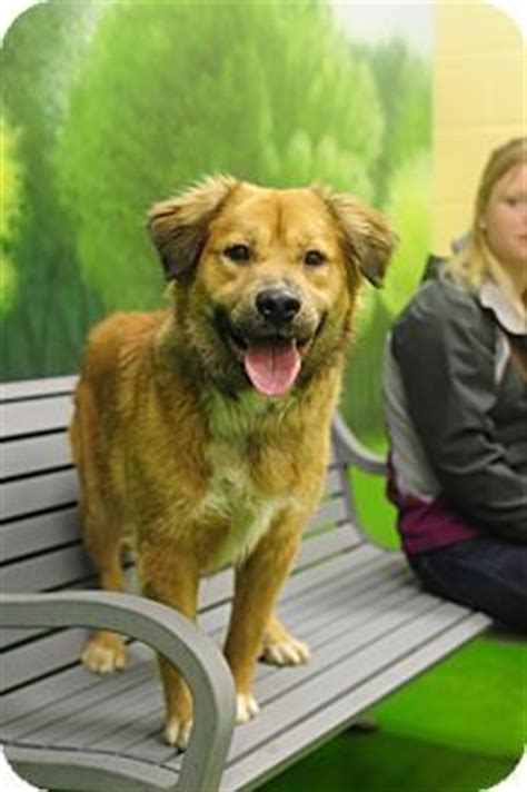 akita golden retriever golden retriever akita mix of ours just adopted a golden retriever akita mix