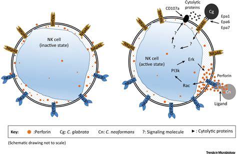 Pattern Recognition Receptors Nk Cells   nkp46 is an nk cell fungicidal pattern recognition