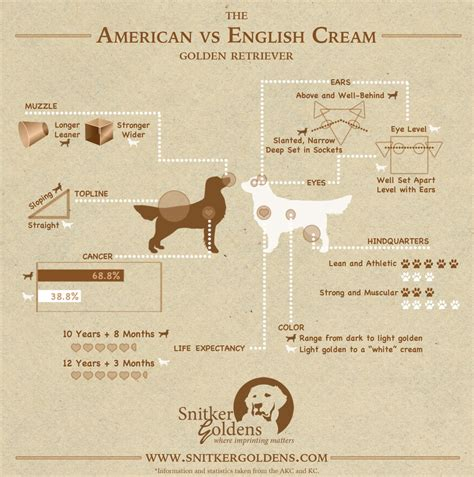 difference between and american golden retrievers american vs golden retrievers golden retriever forums