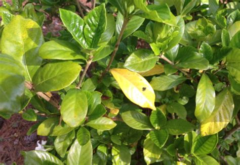 Gardenia Yellow Leaves Epsom Salt What S Wrong With My Gardenias Yellow Leaves Spots Rust