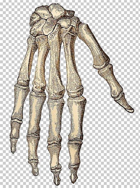 skeleton hands png  skeleton handspng transparent