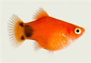 platy red mickey mouse tropicali