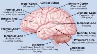 brain parts diagram label blank submited images