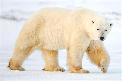 imagenes animales polares 191 qu 233 comen los osos polares
