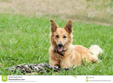basque shepherd basque shepherd lying in the grass royalty free stock image image 34084276