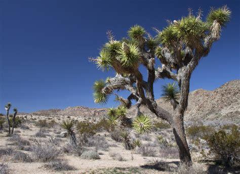 joshua tree and mojave desert naturetime