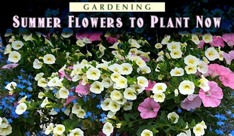gardening summer flowers to plant now carycitizen