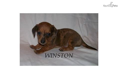 teacup dachshund puppies for sale pin teacup dachshund puppies for sale in florida on
