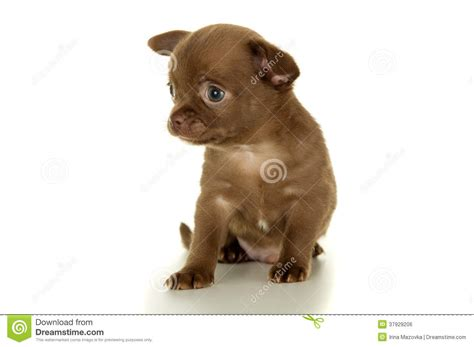 brown chihuahua puppy beautiful brown chihuahua puppy sitting royalty free stock image image 37929206