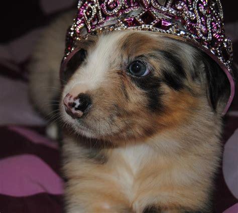 shamrock rose aussies update   puppies born