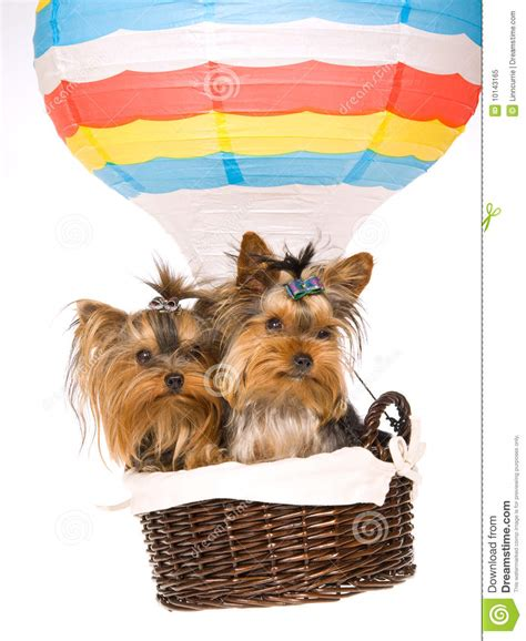 air puppy 2 yorkie puppies sitting inside air balloon royalty free stock photo image 10143165