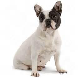 Royal Canin Bulldog Junior 3kg Makanan Bulldog Puppy royal canin bulldog junior food wroc awski